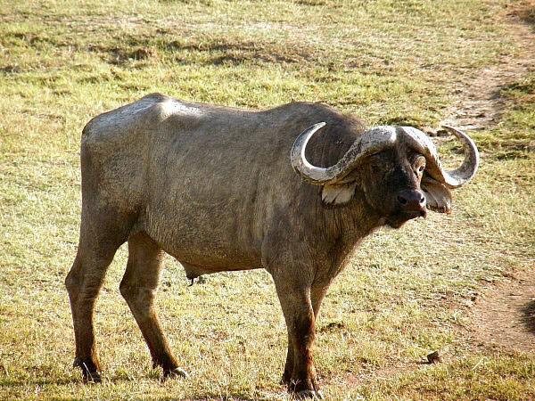 buffel valt leeuw aan